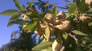 Almonds ready to be harvested- the shake and sweep is about to begin!